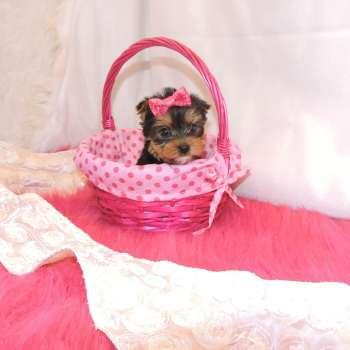 Pretty Female and Male Tea Cup Y.O.R.K.I.E puppies contact us 5.1.6.6.9.9.2.6.2.3