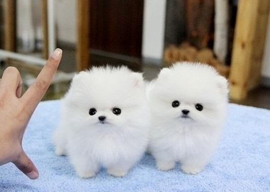 Affectionate M/F M.a.l.t.e.s.e   Puppies!!!Sms 701 409-0063
