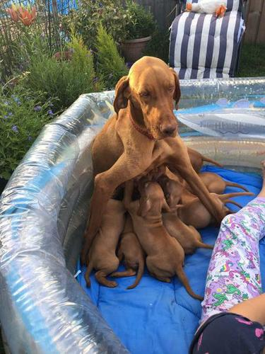Hungarian puppies for new homes