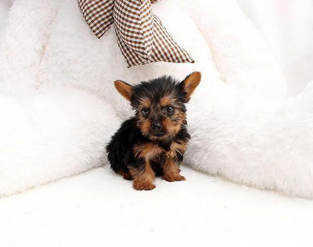 CUTE T.E.A.C.U.P Y.O.R.K.I.E puppies sms(484) 381-0472