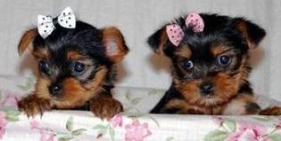 Cute Quality y.o.r.k.i.e P.u.p.s(678) 690-9149