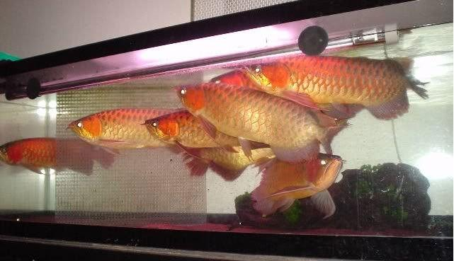 Fresh Water premium Arowana fish for sale (shipping available)