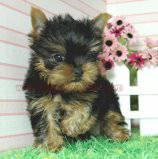 T-cup yorkie puppies for available for re homing