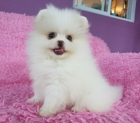Pennysaver Purebred Pomeranian Puppies For Sale In Montgomery