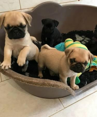 Amazing pug puppies available