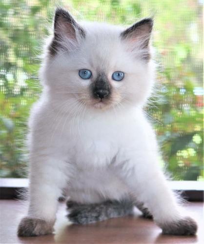 CFA  registered Rag-doll kittens  For Sale