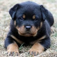 FREE FREE Female and Male R.o.t.t.w.e.i.l.e.r puppies SMS (630) 509-7004