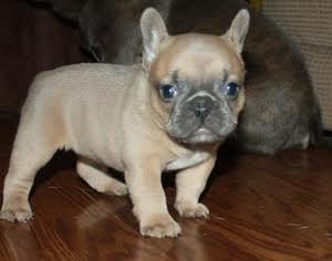 Male And Female French Bulldog Puppies Free To Good Homes