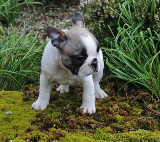 FREE FREE F.R.E.N.C.H B.U.L.L.D.O.G puppies!