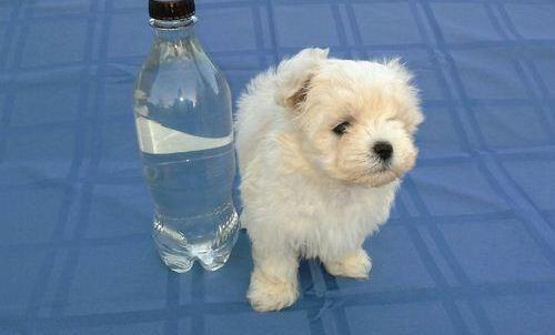 CUTE M.A.L.T.E.S.E Puppies (469) 723-9445 :???