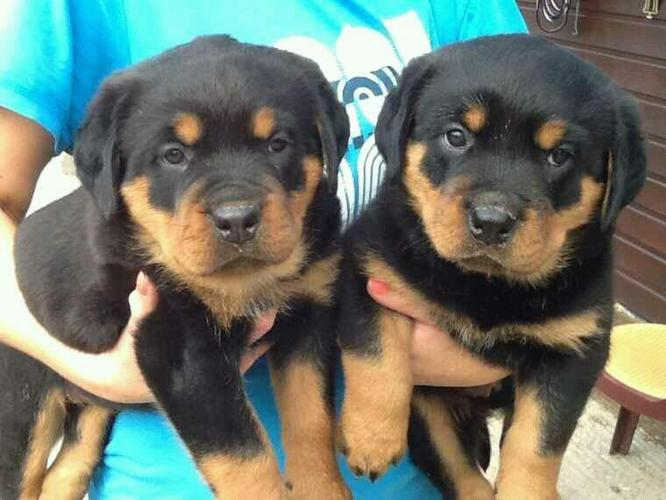Two Gorgeous R.o.t.t.w.e.i.l.e.r Puppies Available. (402) 892-1171
