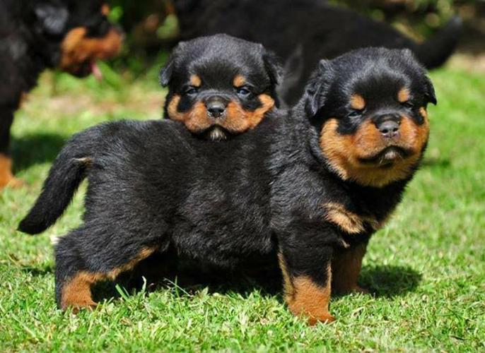 Two Gorgeous R.o.t.t.w.e.i.l.e.r Puppies Available. (402) 892-1171