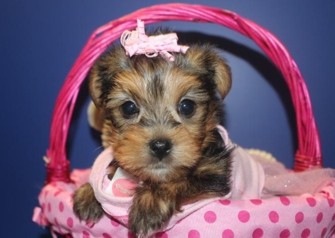 *Top Quality Female and Male Y.o.r.k.s.h.i.e puppies (614) 398 - 0887 **