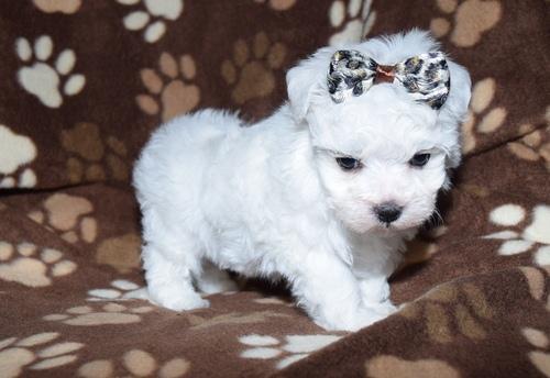 2 CUTE M.A.L.T.E.S.E Puppies (469) 723-9445 :???