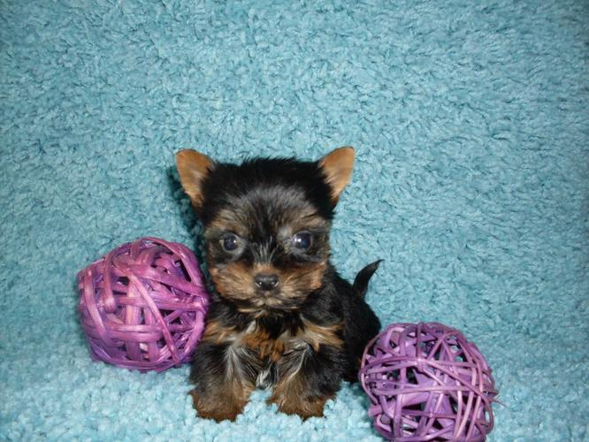 #Charming Teacup Yorkies Puppies#SMS(719) 294-8080