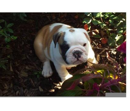 FREE Quality English Buldogs Puppies:contact us at 954-667-9402    .'