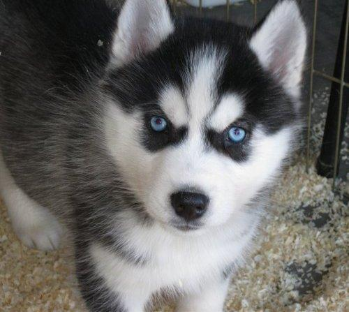 FREE Quality siberians huskys Puppies:contact us at (443) 333-1245