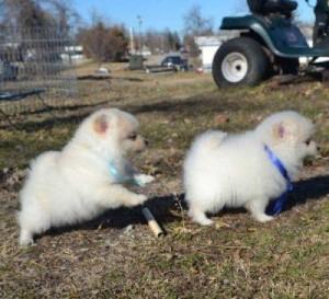 CA 100% pure breed P.o.m.e.r.a.n.i .a.n puppies (631) 533-0129
