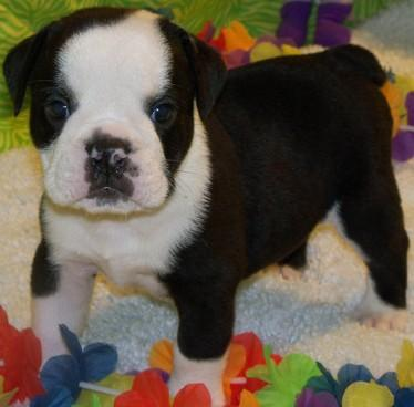 Free Lovely Akc Registered E.n.g.l.i.s.h B.u.l.l.d.o.g.s Puppies for new home