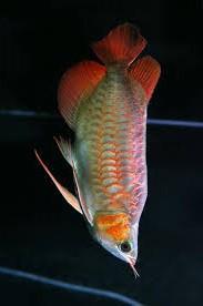 Fresh Water premium Arowana fish for sale (shipping available)