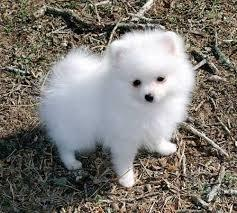 Pomeranian puppies available.text (929) 282-0203
