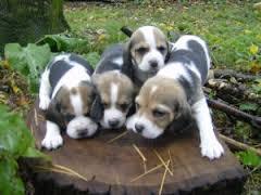 Beautiful Litter Of Beagles