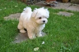 Teacup M.a.l.t.e.s.e Puppies For sale .Males and females available.Interested person should email