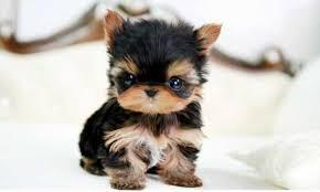 .Home raised yorkie puppies for rehoming(747) 529-1670