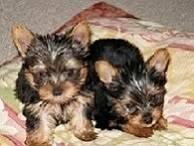 ?Y.o.R.k.i.e P.upp.i.e.s For F.r.e.e, Ready Now 12 Weeks Old # 7194178519