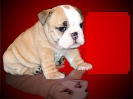 FREE*FREE well behaved E.n.g.l.i.s.h B.u.l..l.d.o.g Puppies looking for good homes.(301) 463-7620