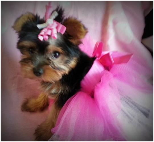 Toy Teacup Yorkies Puppies:....(443) 488-9603