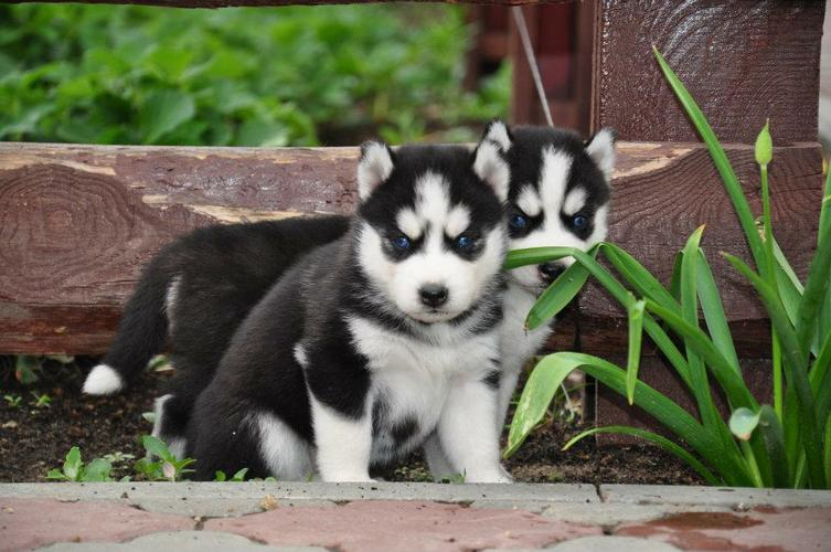 Quality siberians huskys Puppies:contact us at (401)  702-3651