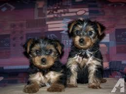 Quality Short Y.o.r.k.i.e puppies 512-237-7837