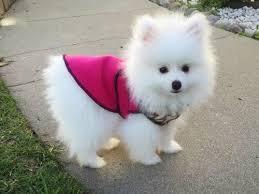 2 Sweet .Mini P.o.m.e.r.a.n.i.a.n puppies!!!sms (343) 600-3433
