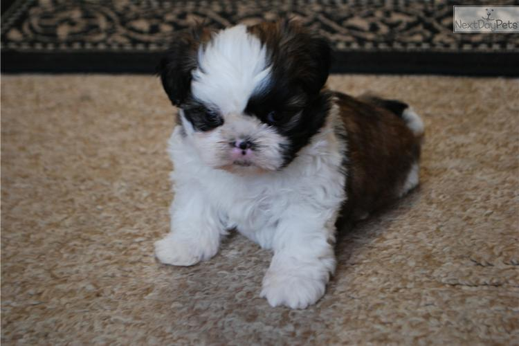 424-271-4391 S.h.i.h T.z.u P.upp.i.e.s For F.r.e.e, Ready Now 3 months Old # contct for more info
