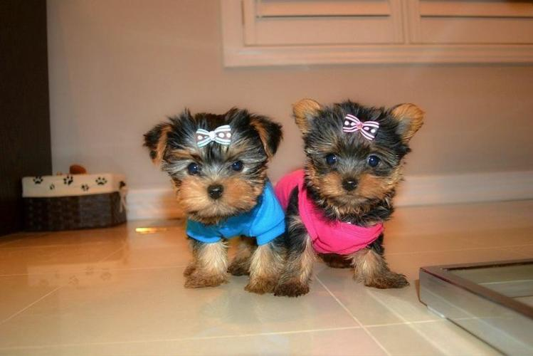 Quality Teacup Yorkies Puppies:.... (430) 702-2208