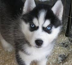 Awesome Quality Siberia.n husk.y Pups . (303) 990-5538