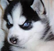 Awesome Quality Siberia.n husk.y Pups . (303) 990-5538