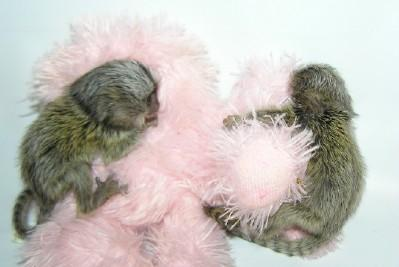 Quality marmoset monkeys Available:contact us at (240) 545-8265