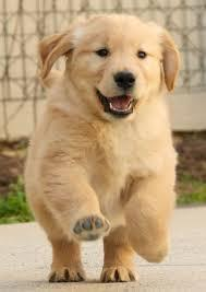 Top Quality golden retriever Puppies:....contact us at(email)