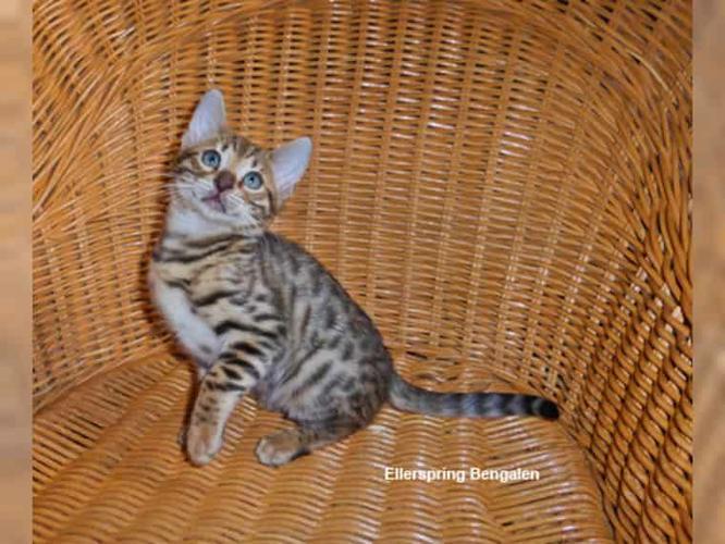 Beautiful TICA Reg. Bengal kittens