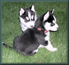 !!!!! Top quality siberians huskys Puppies:!!!contact us at(912) 290-9808