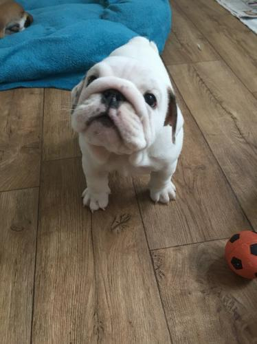 Quality Englishs Bulldogs Puppies:contact us at(54O) 632-2282