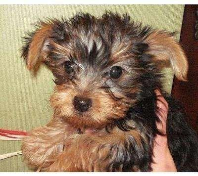 Quality Teacup Yorkies Puppies:.... (323) 905-8807