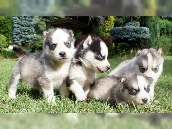 blue eyes siberians huskys Puppies to good homes: