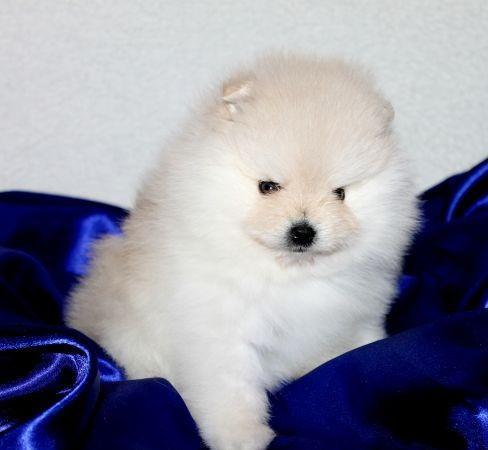 White Pomeranian Puppy For Adoption