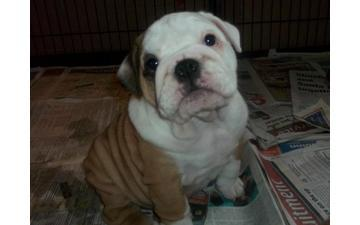 Two Gorgeous English B.u.l.l.d.o.g Puppies Aavailable sms/Call (704) 626-4647