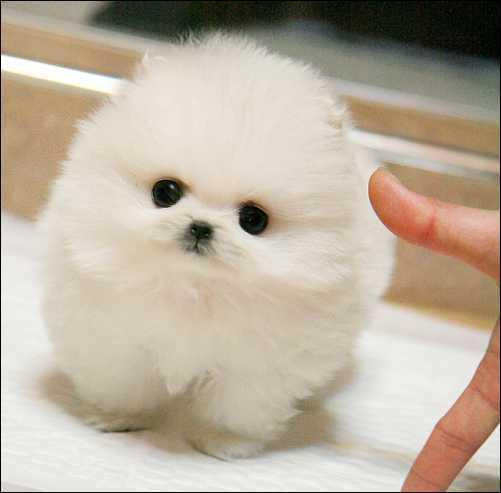 *Top Quality Female and Male P.o.m.e.r.a.n.i.a.n Puppies (209) 896-8621