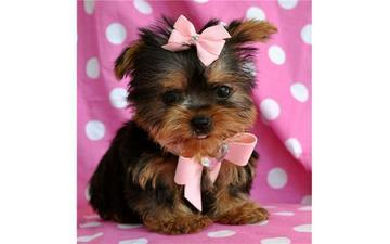 Yorkshire Terrier Puppies(620-392-0858)