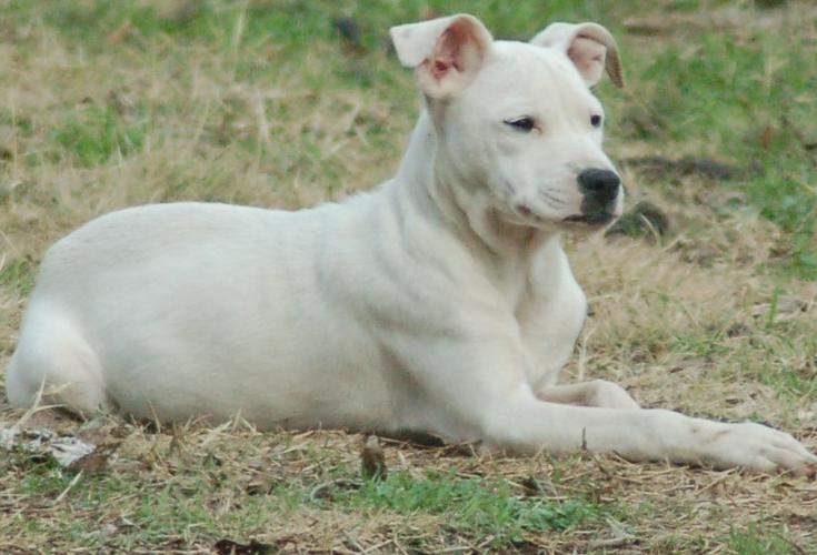 LiL THUNE A Cool Laid Back Pit Bull Puppy